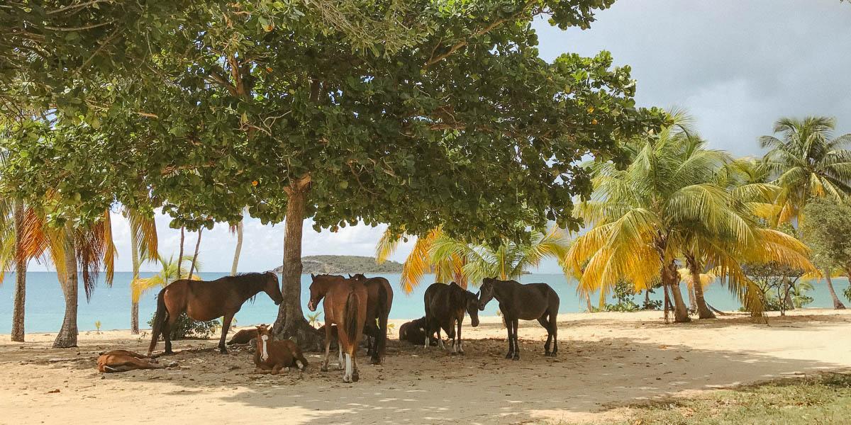 wild horse beach vieques