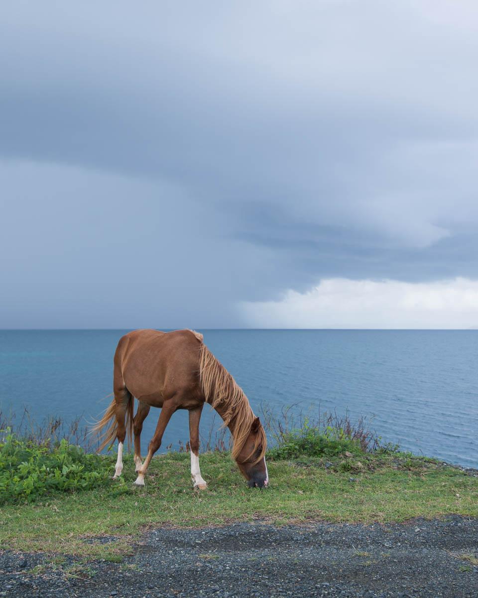Wild Horse Vieques